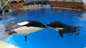 Loro Parque feiert den 10. Jahrestag der Rettung von Orca-Weibchen Morgan
