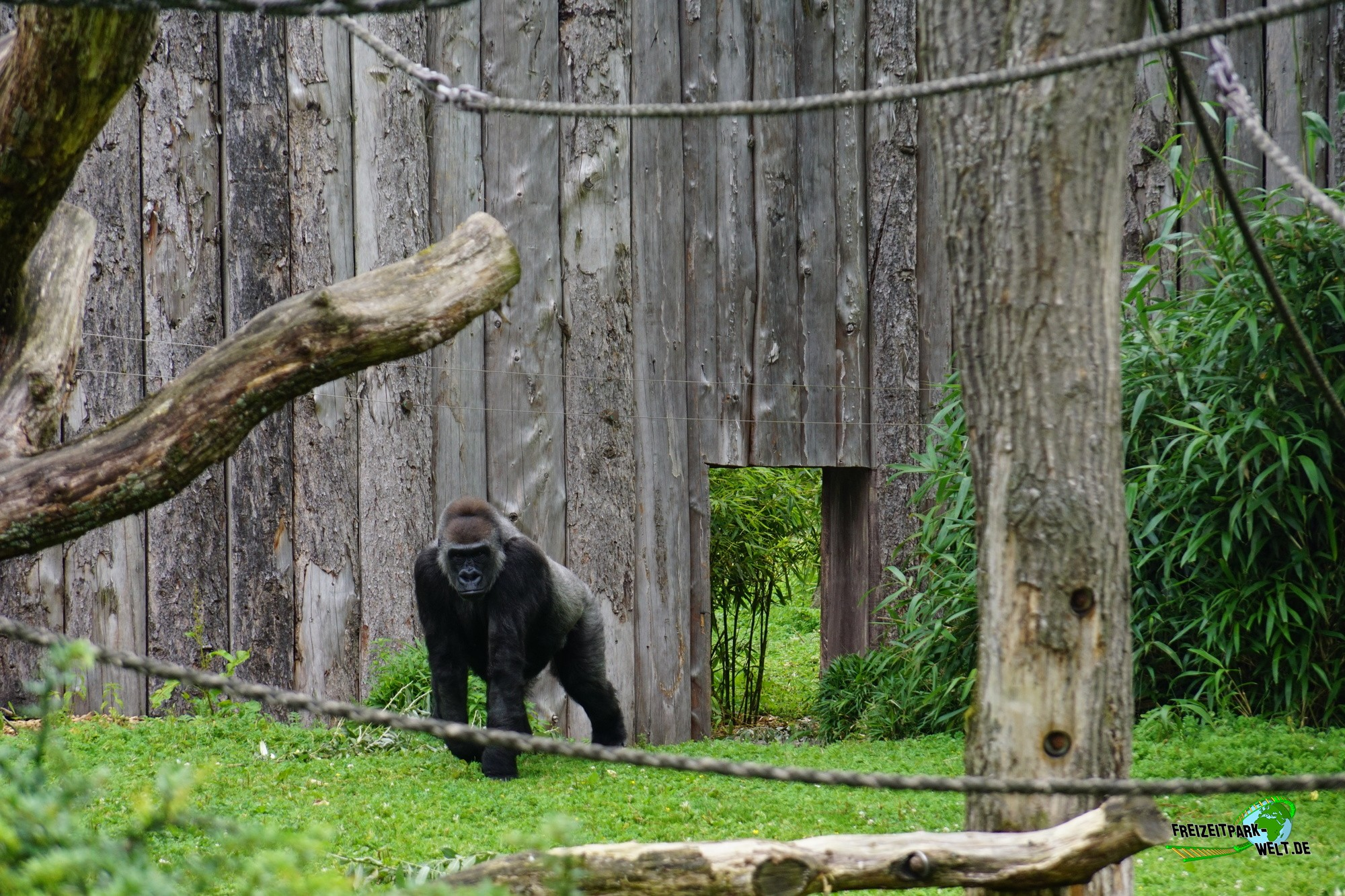 westlicher flachland gorilla allwetterzoo m nster freizeitpark. Black Bedroom Furniture Sets. Home Design Ideas
