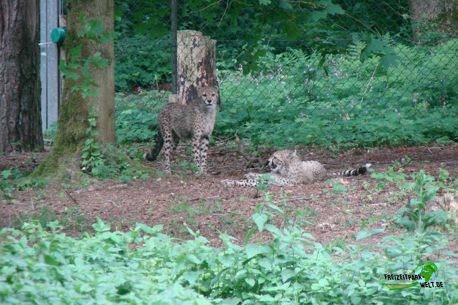 persischer leopard burgers 39 zoo freizeitpark. Black Bedroom Furniture Sets. Home Design Ideas