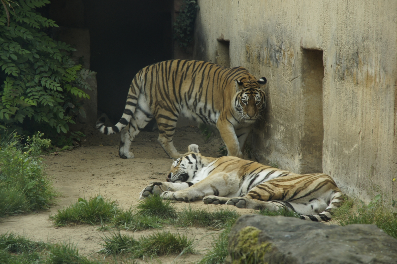 sibirischer tiger erlebnis zoo hannover freizeitpark. Black Bedroom Furniture Sets. Home Design Ideas