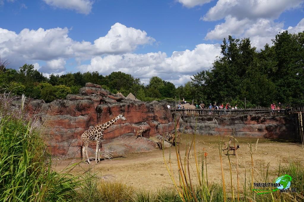 Giraffe im GaiaZOO - 2019: Die große Giraffen, Antilopen und Straussen-Savanne im afrikanischen Teil des GaiaZoo