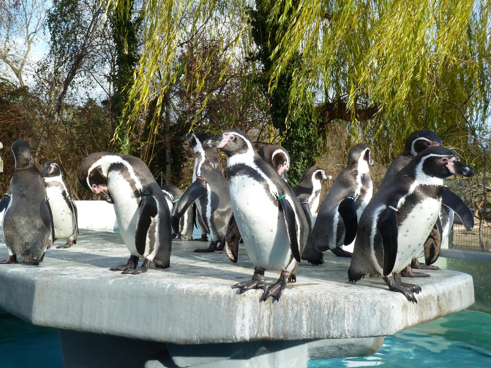 humboldt pinguin k lner zoo freizeitpark. Black Bedroom Furniture Sets. Home Design Ideas