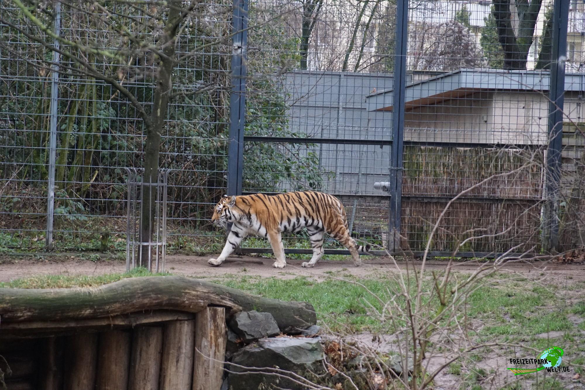 sibirischer tiger k lner zoo freizeitpark. Black Bedroom Furniture Sets. Home Design Ideas