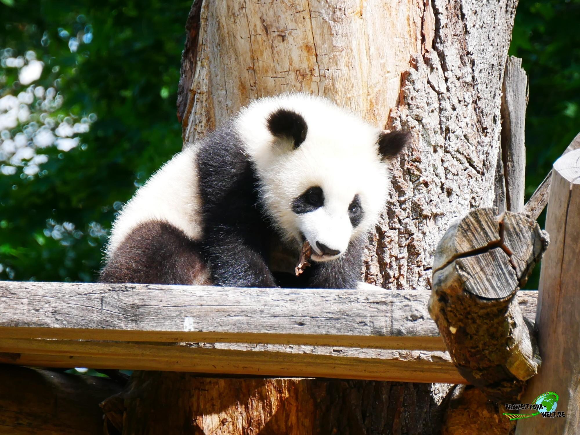 Panda Zoo Frankfurt