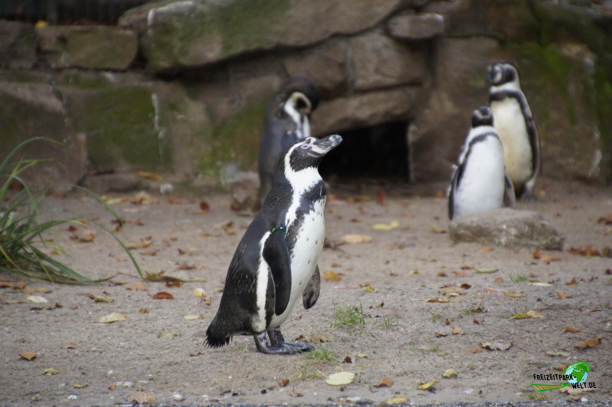 humboldt pinguine zoo dortmund freizeitpark. Black Bedroom Furniture Sets. Home Design Ideas
