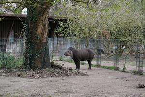 flachlandtapir zoo dortmund freizeitpark. Black Bedroom Furniture Sets. Home Design Ideas