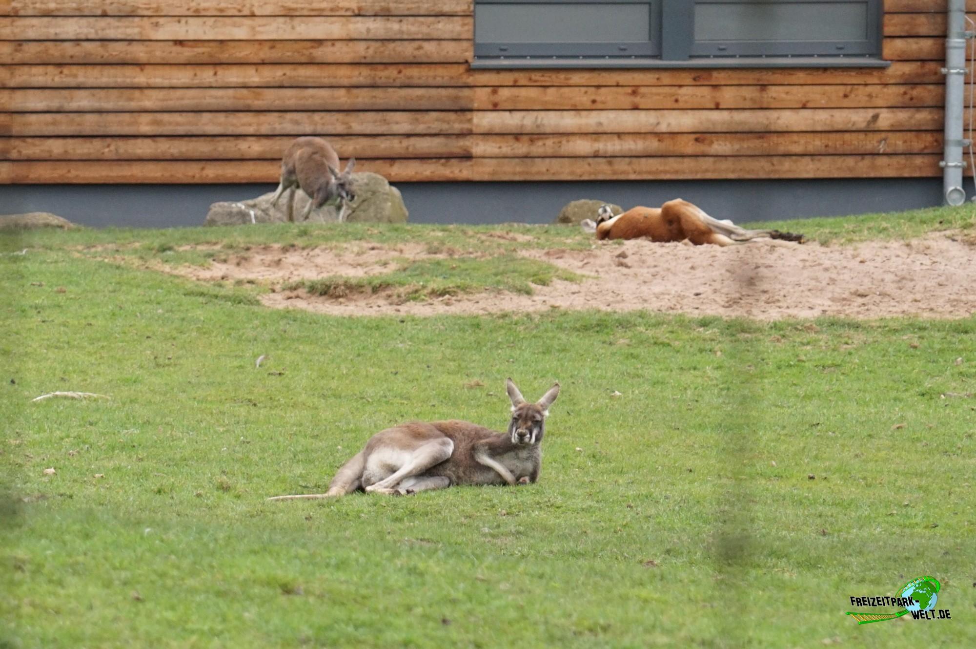 rotes riesenk nguru zoo dortmund freizeitpark. Black Bedroom Furniture Sets. Home Design Ideas