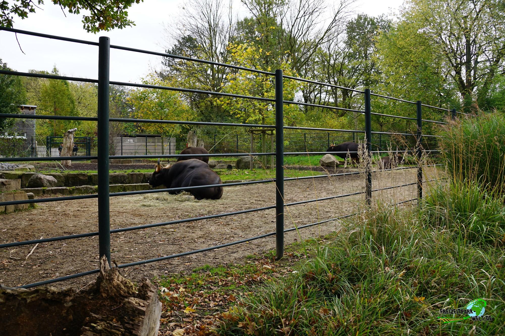 vorderindischer gaur zoo dortmund freizeitpark. Black Bedroom Furniture Sets. Home Design Ideas