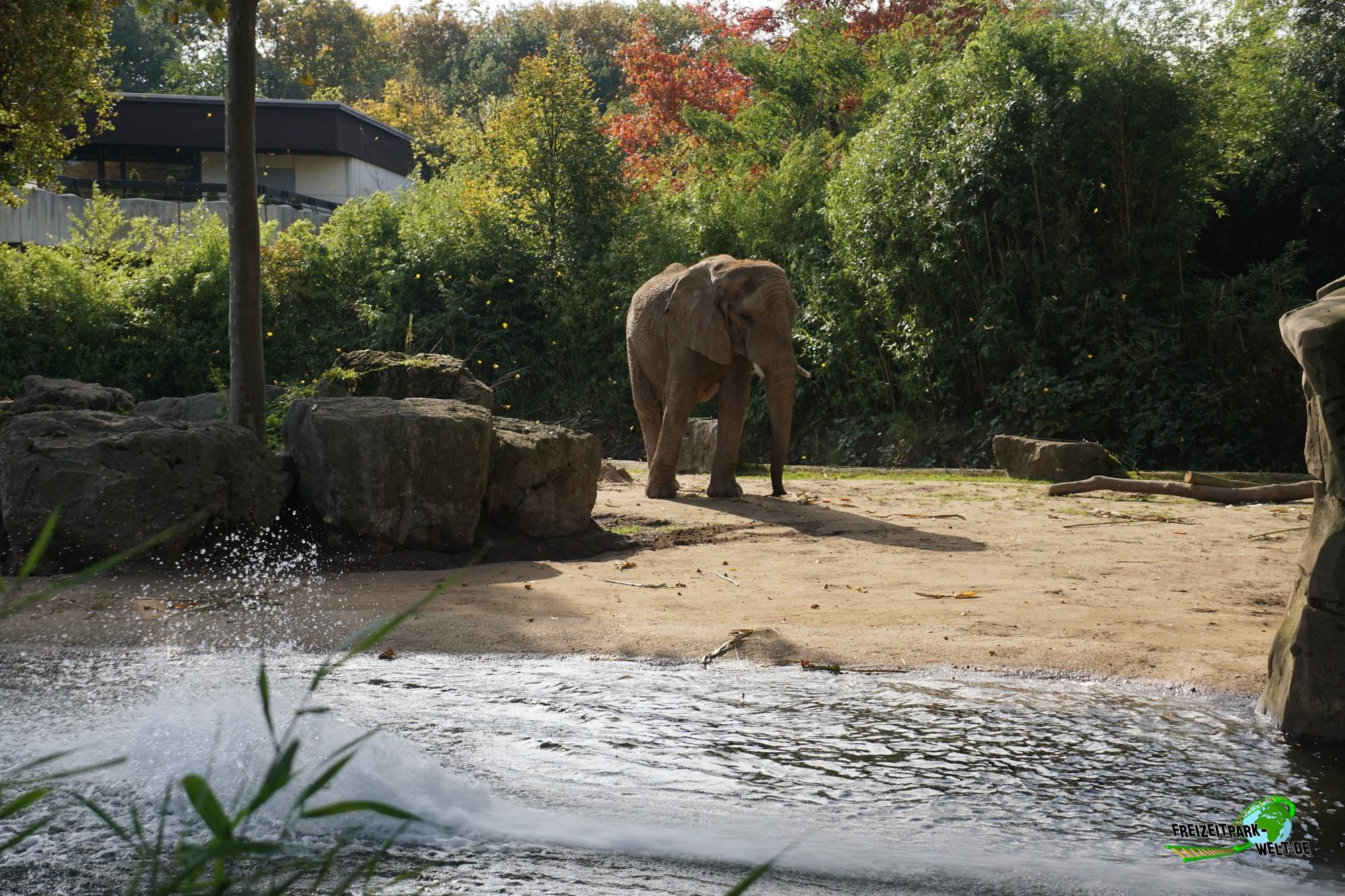 afrikanischer elefant zoo duisburg freizeitpark. Black Bedroom Furniture Sets. Home Design Ideas