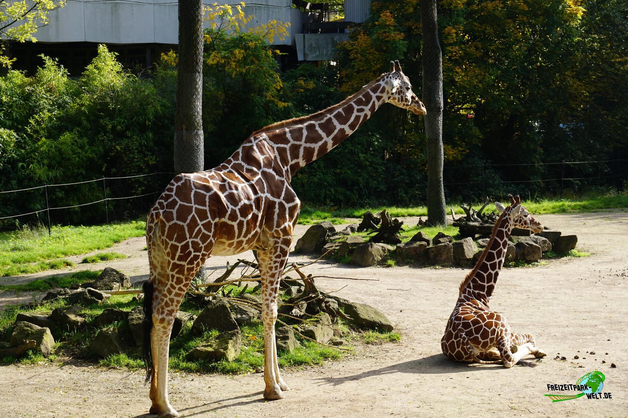 giraffen zoo duisburg freizeitpark. Black Bedroom Furniture Sets. Home Design Ideas