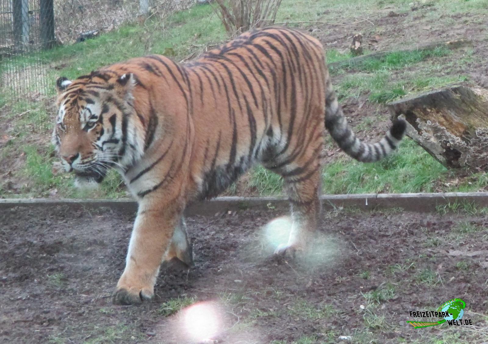 sibirischer tiger zoo neuwied freizeitpark. Black Bedroom Furniture Sets. Home Design Ideas