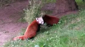kleiner panda zoo neuwied freizeitpark. Black Bedroom Furniture Sets. Home Design Ideas