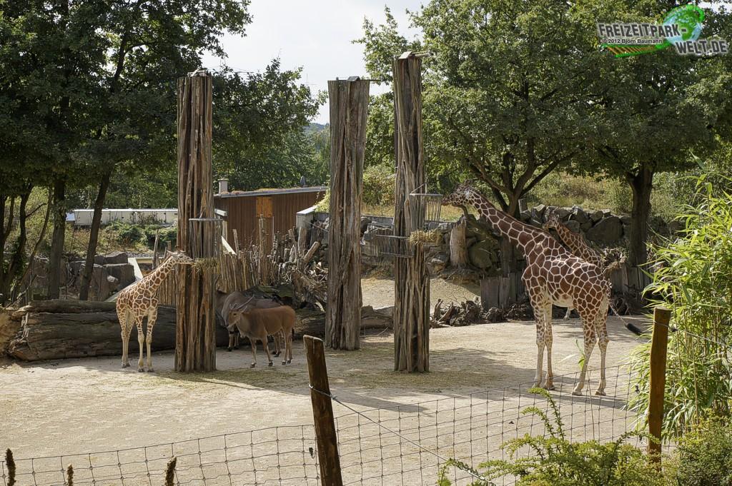 giraffe zoo osnabr ck freizeitpark. Black Bedroom Furniture Sets. Home Design Ideas